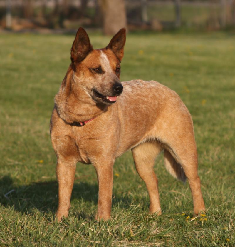 Spader Good Onya Ginger-AKC Working Red Heeler