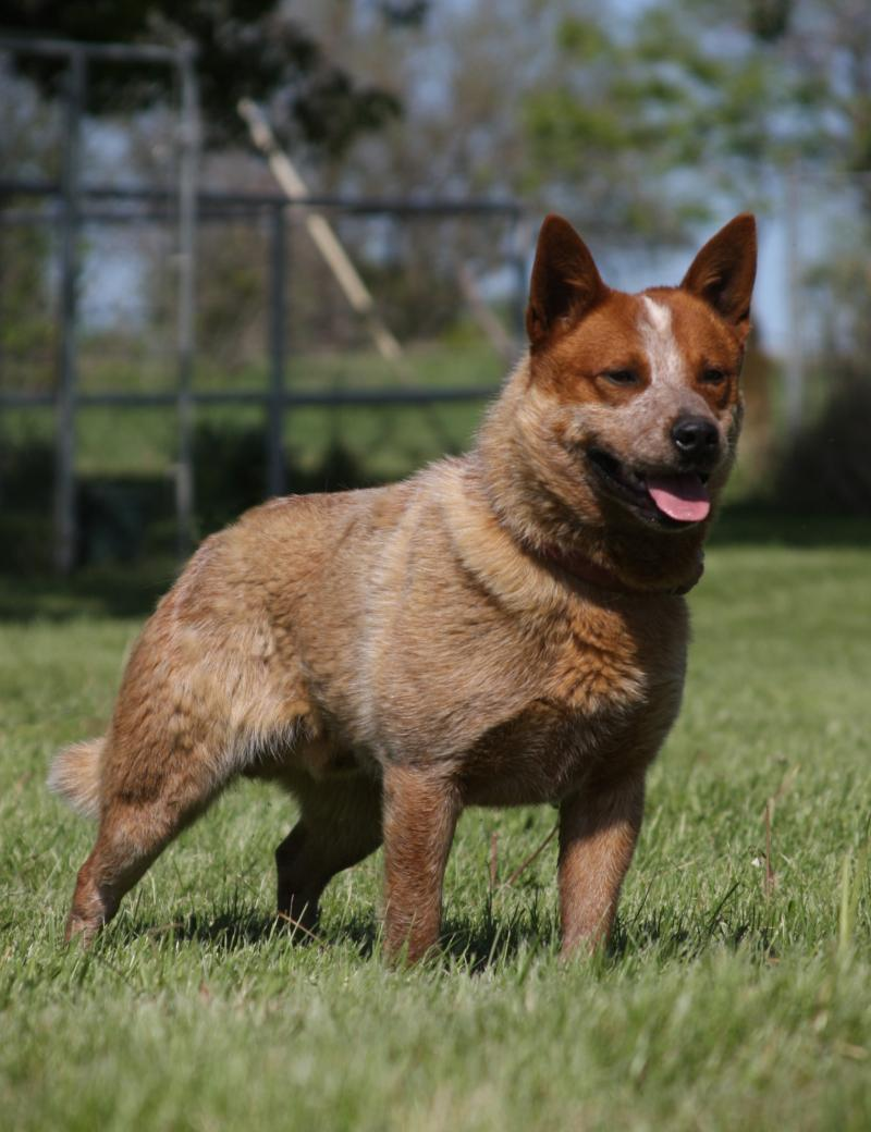 how to train an australian cattle dog to herd
